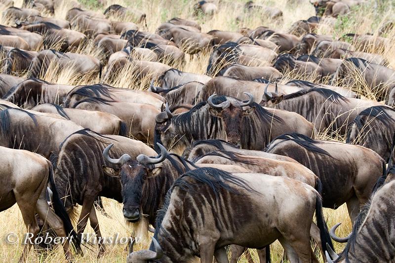 Wildebeests (Connochaetes taurinus), Masai Mara National Reserve, Kenya, Africa