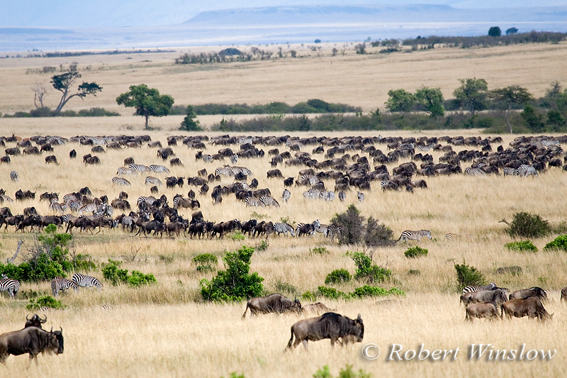 Wildebeests (Connochaetes taurinus) and Zebras, Masai Mara National Reserve, Kenya, Africa