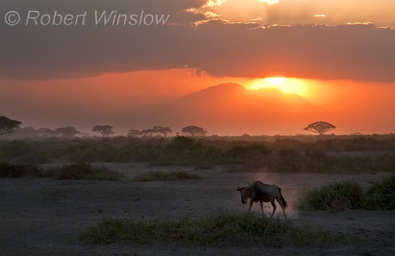 Wildebeest 6598W8WM