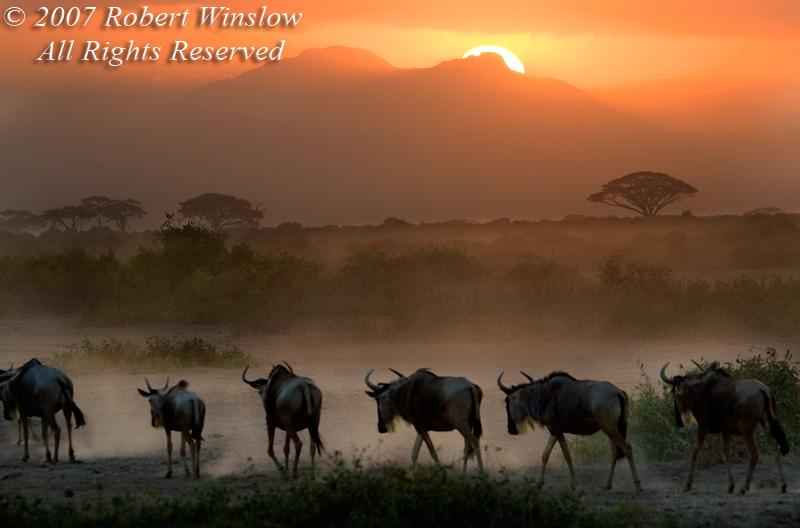 Sunset, Wildebeests (Connochaetes taurinus), Amboseli National Park, Kenya, Africa