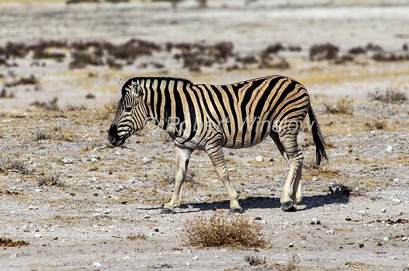 Burchell's Zebra, Equus quagga burchellii, Etosha National Park, Namibia, Africa, Perissodactyla Order, Equidae Family