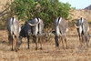 Rear Ends Show Distinctive Markings of Grevy's Zebra, Equus grevyi, Samburu National Reserve, Kenya, Africa