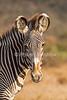 Grevy's Zebra, Equus grevyi, Samburu National Reserve, Kenya, Africa