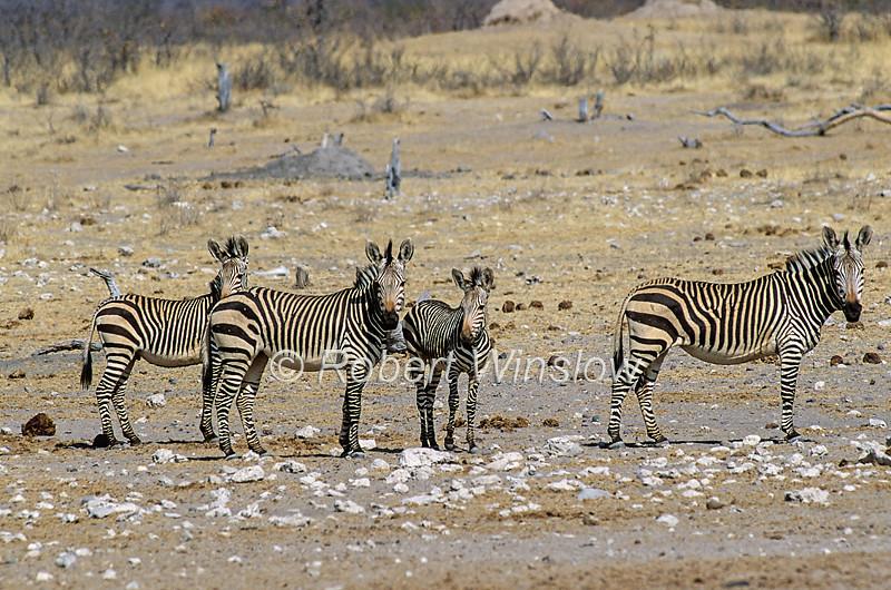 Hartmann's Mountain Zebra, Equus zebra hartmannae,  is a subspecies of the mountain zebra, Etosha National Park, Namibia, Africa