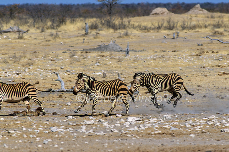 Hartmann's Mountain Zebra, Equus zebra hartmannae,  is a subspecies of the mountain zebra, Etosha National Park, Namibia, Africa