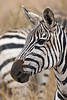 Plains Zebra, Equus quagga, formerly Equus burchelli, Nairobi National Park, Kenya, Africa, Perissodactyla Order, Equidae Family
