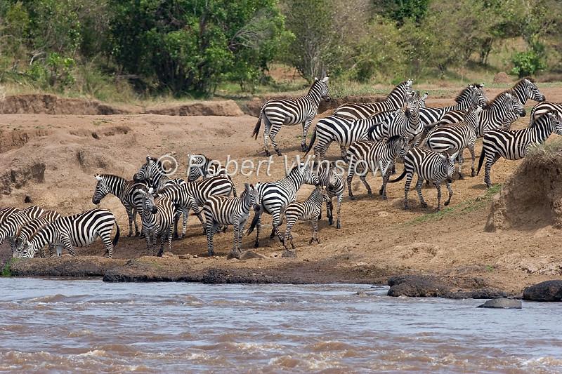 Plains Zebras, Equus quagga, formerly Equus burchelli, on the bank of the Mara River, Masai Mara National Reserve, Kenya, Africa, Perissodactyla Order, Equidae Family