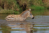 Baby Plains Zebra, Equus quagga, Crossing a Stream, Lake Nakuru National Park, Kenya, Africa