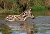 Baby Plains Zebra, Equus quagga, Crossing a Stream, Lake Nakuru National Park, Kenya, Africa