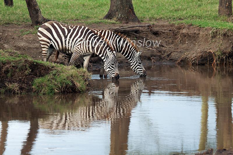 Plains Zebra, Equus quagga, Drinking Water, Lake Nakuru National Park, Kenya, Africa