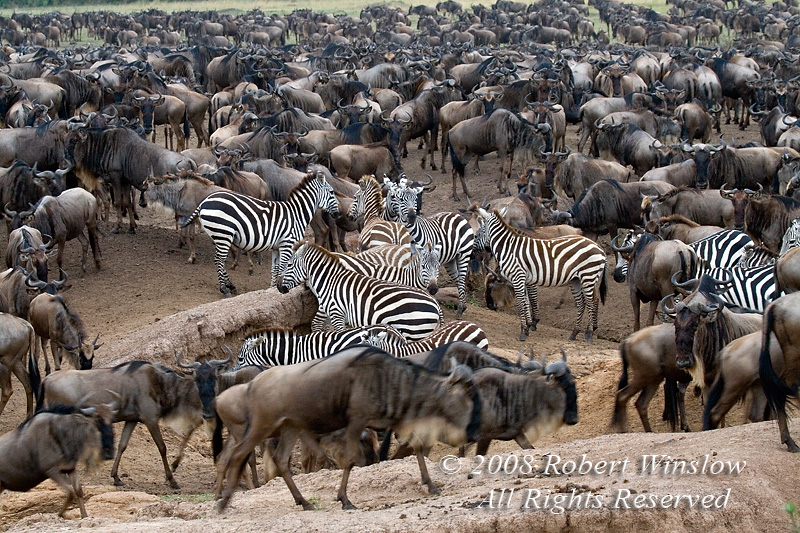 Wildebeests, Connochaetes taurinus, and Zebras durning Migration, Masai Mara National Reserve, Kenya, Africa
