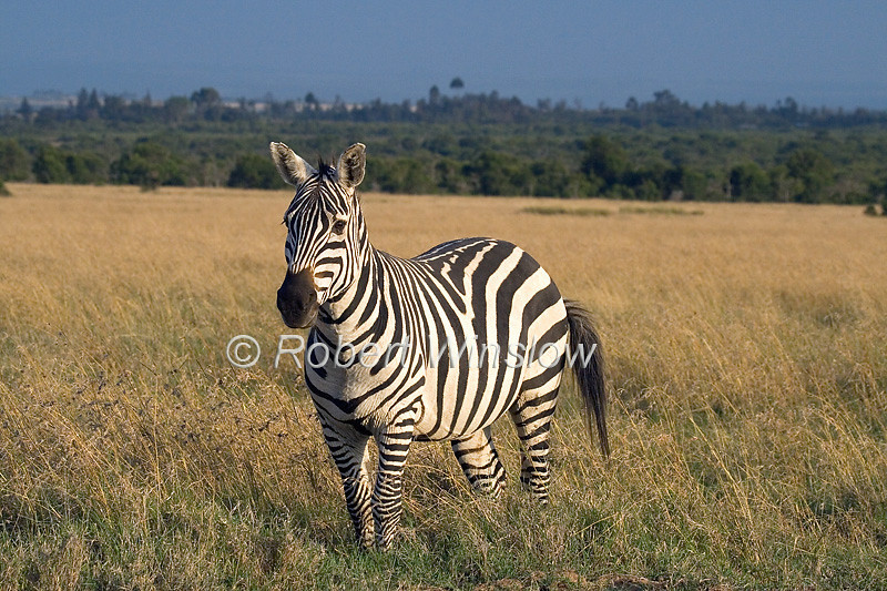 Plains Zebra, Equus quagga, formerly Equus burchelli, Ol Pejeta Conservancy; Sweetwaters Conservancy, Kenya, Africa, Perissodactyla Order, Equidae Family
