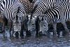 Plains Zebras,  Equus quagga, Drinking Water, Ngorongoro Crater, Tanzania, Africa