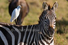 Plains Zebra with Cattle Egret on its back, Masai Mara National Reserve, Kenya, Africa