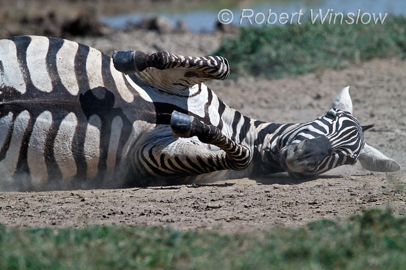 Plains Zebra, Equus quagga, formerly Equus burchelli, Rolling in the Dust, Lake Nakuru National Park, Kenya, Africa, Perissodactyla Order, Equidae Family