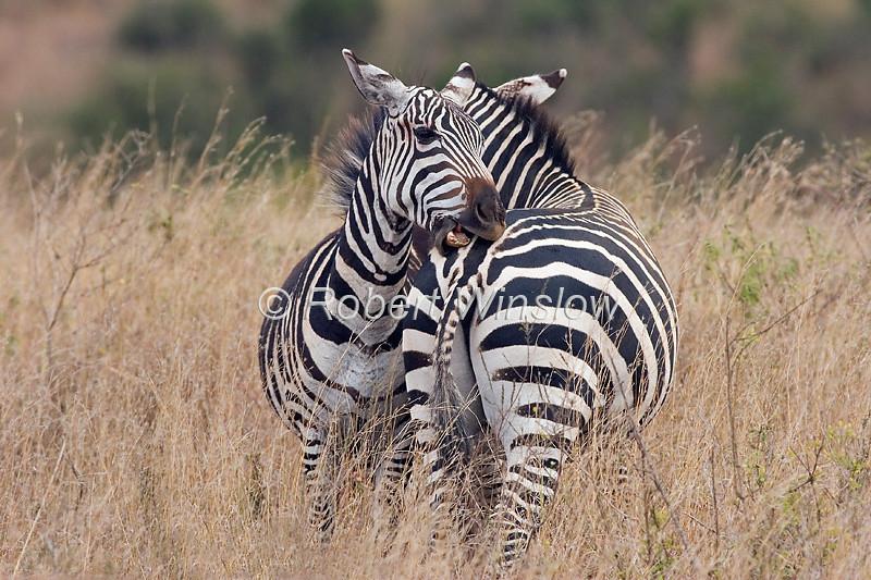two Plains Zebras, Fighting, Equus quagga, formerly Equus burchelli, Nairobi National Park, Kenya, Africa, Perissodactyla Order, Equidae Family