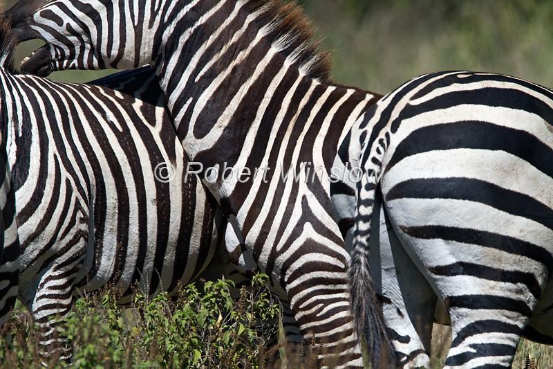 Plains Zebras, Equus quagga, Lake Nakuru National Park, Kenya, Africa