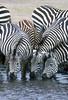 Plains Zebras (Equus quagga) Drinking Water, Ngorongoro Crater, Tanzania, Africa