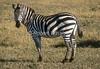 Plains Zebra, Equus quagga, Masai Mara National Reserve, Kenya, Africa