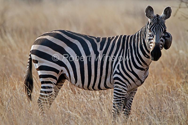 Tumor on Plains Zebra, Equus quagga, formerly Equus burchelli, Tsavo West National Park, Kenya, Africa, Perissodactyla Order, Equidae Family