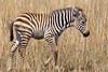 Baby Plains Zebra, Equus quagga, Red Oat Grass, Masai Mara National Reserve, Kenya, Africa