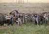 Plains Zebra, Equus quagga, formerly Equus burchelli, Herd, One watching the others back, Lake Nakuru National Park, Kenya, Africa, Perissodactyla Order, Equidae Family