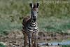 Baby Plains Zebra, Equus quagga, Lake Nakuru National Park, Kenya, Africa
