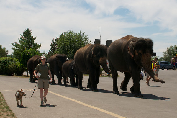 Elephant stroll with their trainer and herd dog