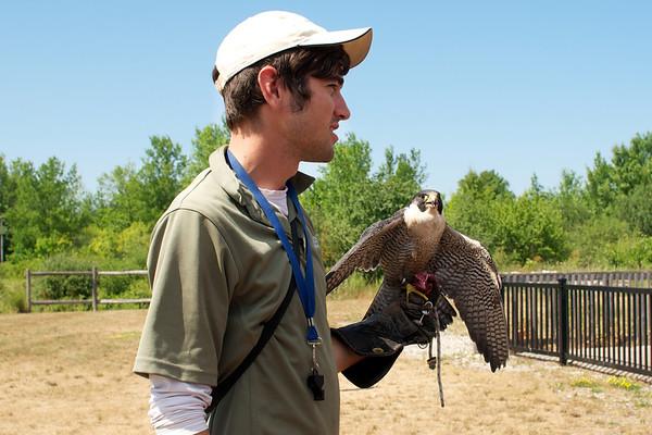 Peregrine falcon eats it's mouse treat