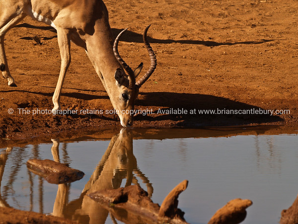 Impala drinkng  and reflected in waterhole