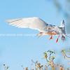 Roseate Tern flying past