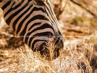 Closeup of opart of zebra head while down grazing in dry African grass