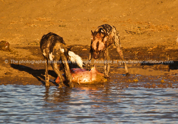 Dinner time, Wild dogs devouring a kudu at a Madikwe water hole.