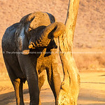 Elephant rubbing itself against old dead tree in South Africa