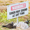 Common noddy nesting against lump of coral and under warning sign.
