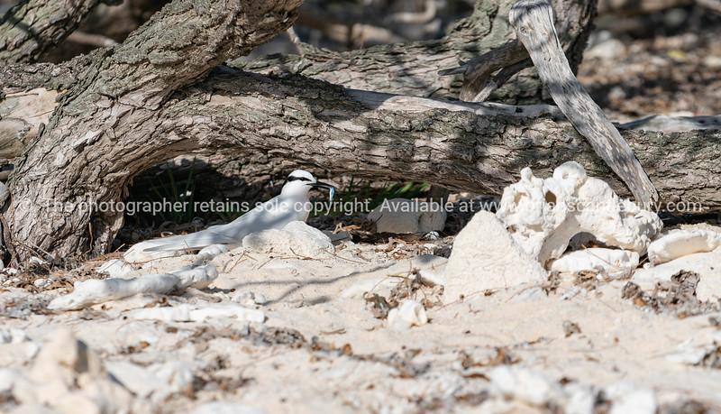 Black naped tern