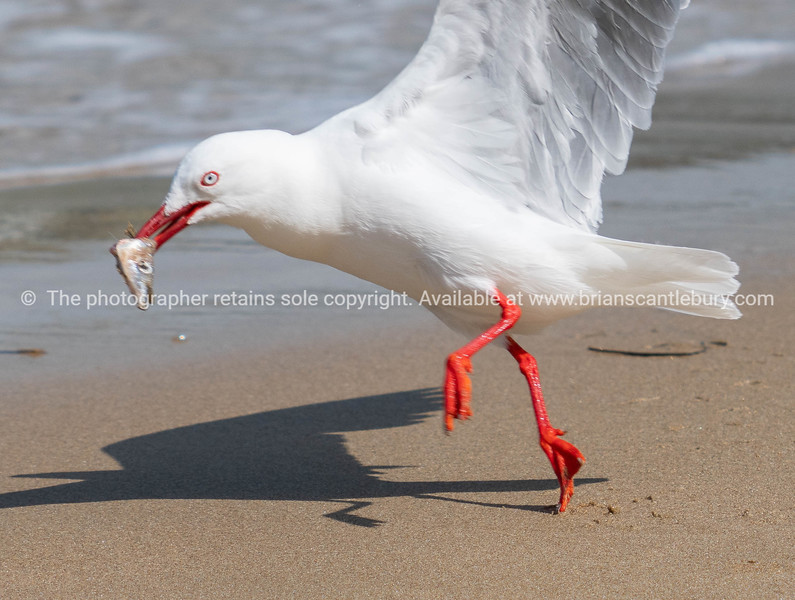 Red billed gull with fish in beak