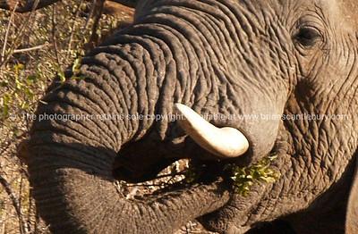 Elephant eating, close up.