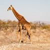 Giraffe walking across landscape
