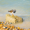 Turnstone on rock at waters edge.