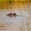 Hippopotamus eyes us with only part of head showing is submergesd in swamp water in Botswana