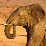 Elephant wet and shiny from playing waterhole with trunk curled to mouth