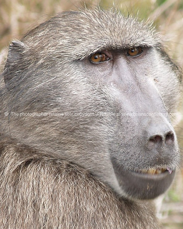 Those eyes, Mr Baboon. The face of a Chacma Baboon.