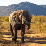 Large Elephants blocking track and heading forward in bush in South Africa