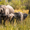 Family of elephants feeding and drinking as they move through Okavango swamp in Botswana