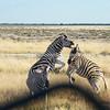 Namibia, Etosha NP, Okaukajuejo-251