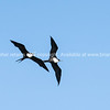 Pair of Frigate birds circling overhead.