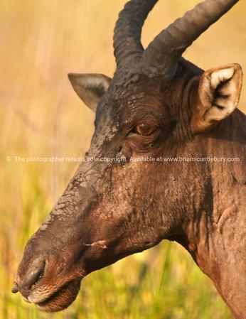 Hartebeest, antelope.