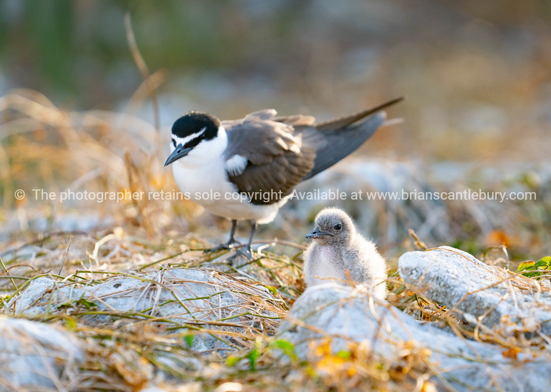 Bridled tern and chick on ground among dry grass and rock on Lady Elliot Island, Queensland .