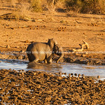 Baby elephant playing in muddy waterhole in South Africa